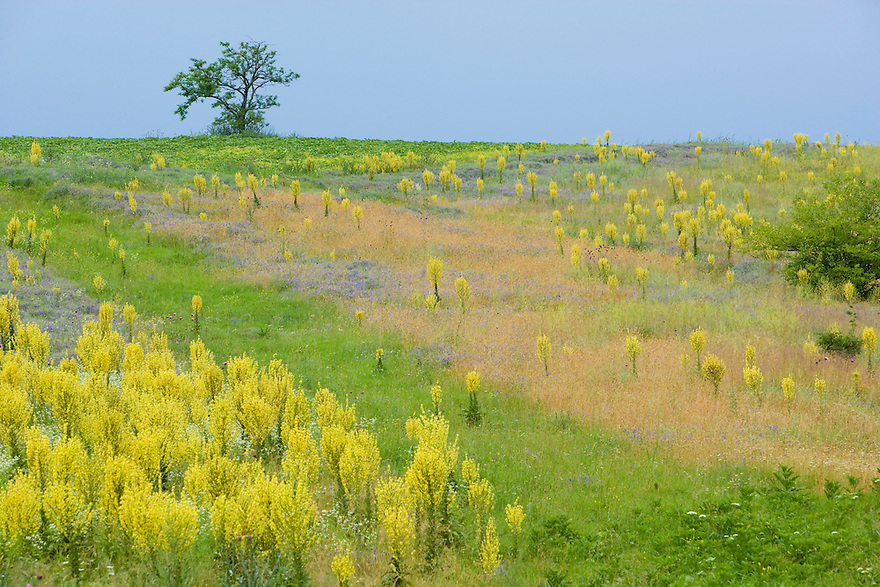 Fallow ground with Denseflower mullein (Verbascum densiflorum), Brachland, Großbluetige Königskerze, near Nikopol, Bulgaria