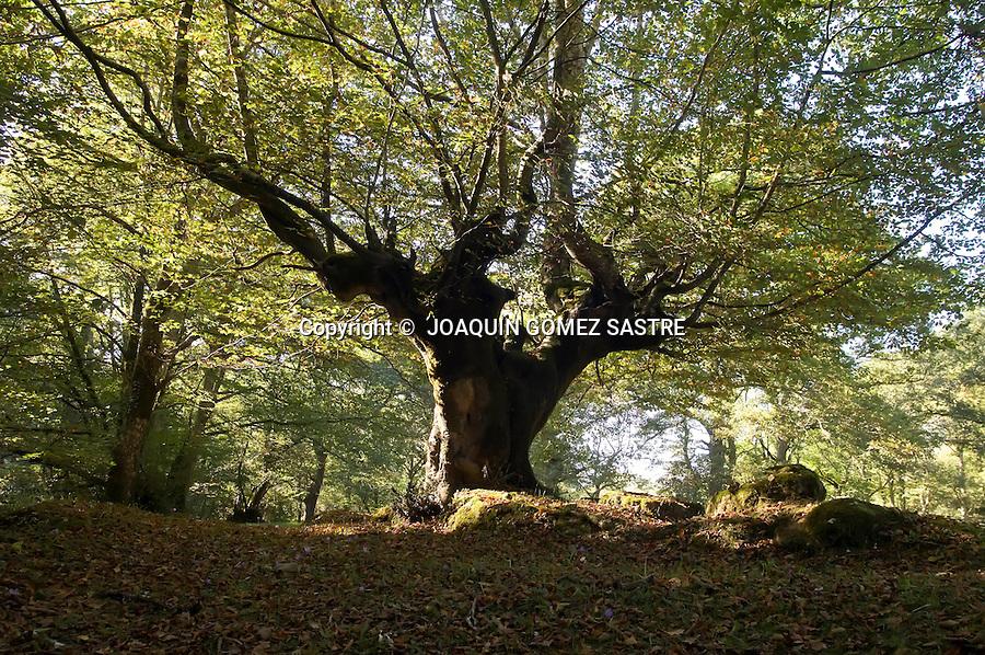 RESERVA NATURAL DEL SAJA.Vista de alguno de los arboles que se pueden ver en la reserva Natural del SAaja en Cantabria..foto JOAQUIN GOMEZ SASTRE