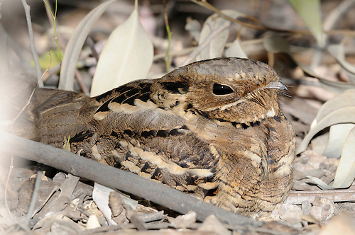 Long-tailed Nightjar - Caprimulgus climacurus