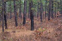 Pine Barrens forest; Pitch Pine; Pinus rigida; NJ, Mullica River