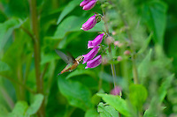 Rufous Hummingbird feeding on foxglove wildflowers, Pacific Northwest.  June.  This is the real thing not some setup.