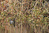 American Coot, Fulica americana, at Colusa National Wildlife Refuge, California