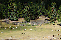 After their morning graze, sheep browse the meadow around Irene's cabin.