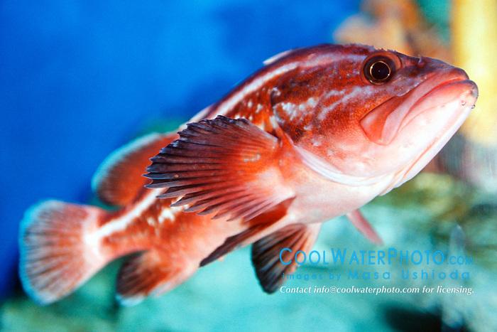 yelloweye rockfish, juvenile (c), .Sebastes ruberrimus, .eastern Pacific Ocean.