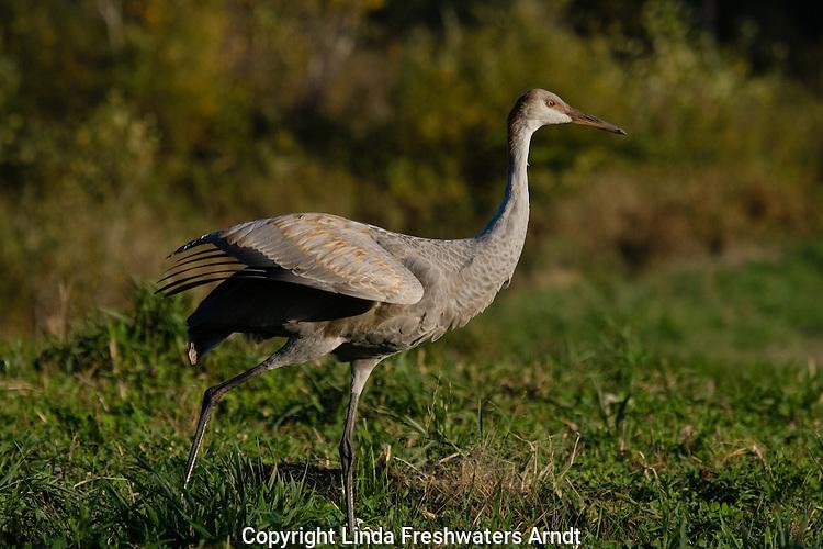 Juvenile sandhill crane (Grus canadensis)