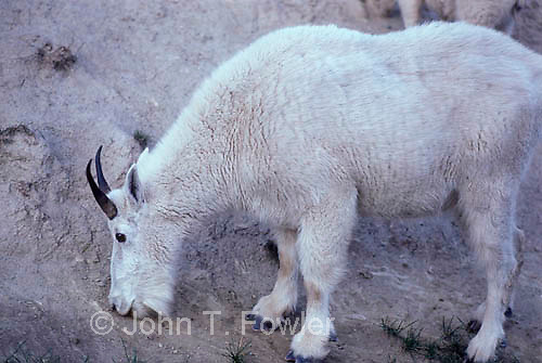 Mountain goats, Oreamnos americanus, at natural salt lick