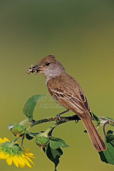 Brown-crested Flycatcher, Myiarchus tyrannulus ,adult with insect on Sunflower, The Inn at Chachalaca Bend, Cameron County, Rio Grande Valley, Texas, USA