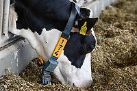 GERMANY, Echem, smart dairy cow milk farm, digitalization of agriculture, milk cows in stable, cows wearing collar with sensor and reporting chips for robot milking / DEUTSCHLAND, Landwirtschaftlichen Bildungszentrum (EBZ) in Echem, Digitalisierung im Kuhstall und Melkstand, Milchkühe tragen Sensoren und Melder für den Melkroboter und zur Daten Auswertung