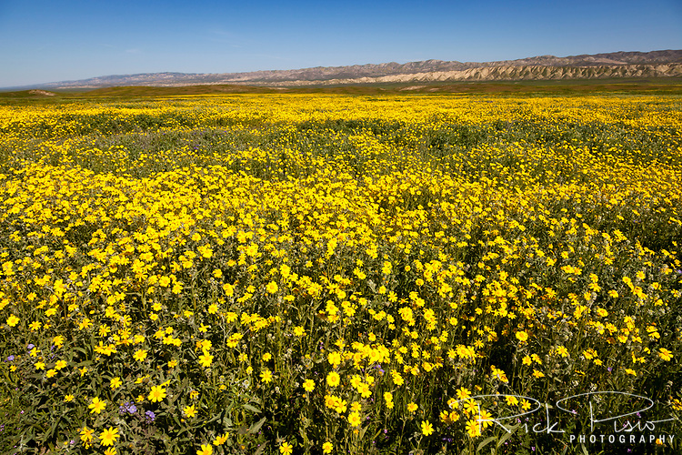 Goldfield wildflowers bloom on the Carrizo Plain in California's Carrizo National Monument.