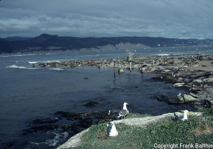 Pinnipeds on Ano Nuevo Island
