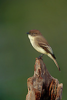 571018009 a wild adult eastern phoebe sayorais phoebe perches on a log over a small pond on a private ranch in the rio grande valley of south texas