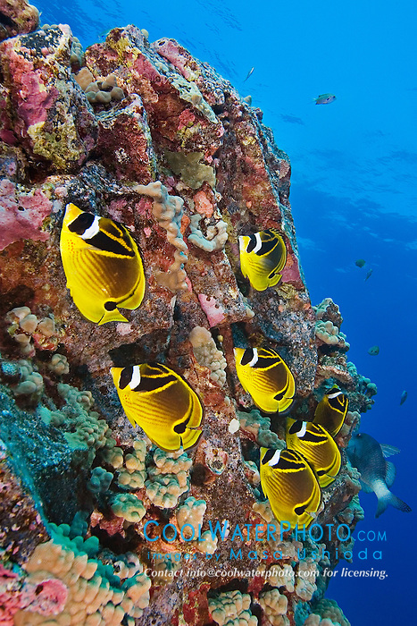 Raccoon Butterflyfish, Chaetodon lunula, Kona, Big Island, Hawaii, Pacific Ocean