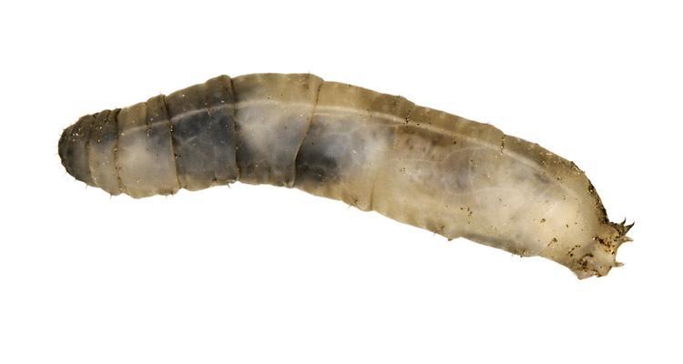 Leatherjacket - larva of cranefly Tipula sp