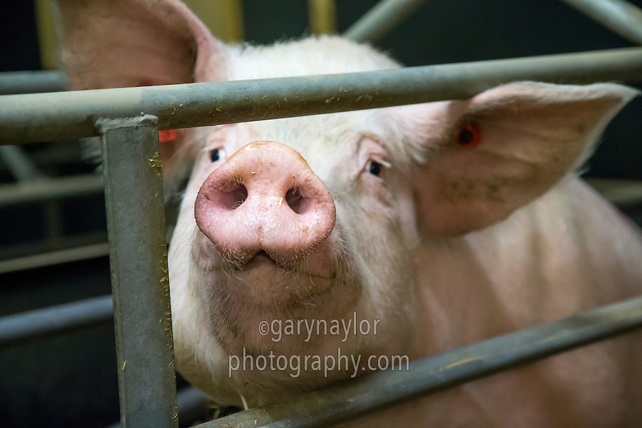 Sow in a sow stall - Lincolnshire