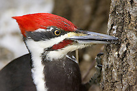 Male Pileated Woodpecker portrait