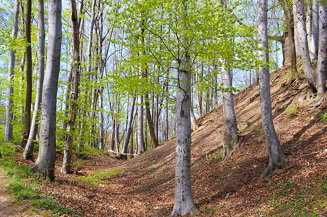 Ancient hill fortifications bank in the forest in spring  on St Vid Hill, Velem Hungary