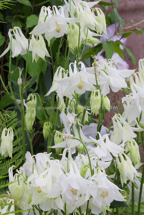 aquilegia vulgaris 'nivea' agm  plant  flower stock photography, Beautiful flower