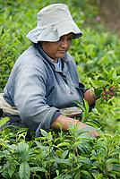MUS, Mauritius, Savanne, Bois Chéri: Teepflueckerin | MUS, Mauritius, Savanne, Bois Chéri: tea picker