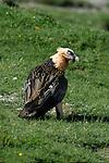 Lammergier or Bearded Vulture standing on ground. Ordesa y Monte Perdido national park, Aragon,Pyrenees, Spain.