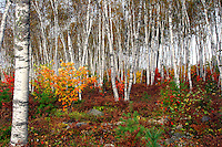 Birches With Autumn Colors