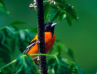 A Northern Oriole.