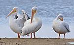 White Pelicans preening on sandbar in Ding Darling NWR, Sanibel Island, FL.
