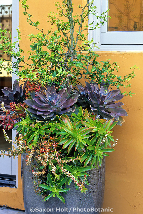 Succulent container with Crassula capitella 'Campfire', Graptopetalum parguayense,  Crassula corymbulosa, and Hesperaloe; David Feix Design
