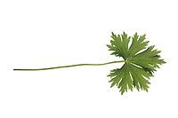 Blauer Eisenhut, Wolfshut, Aconitum napellus, monk's-hood, aconite, wolfsbane, Friar´s Cap, Garden Monkshood. Blatt, Blätter, leaf, leaves