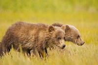 Spring cubs in the meadow. Kodiak grizzly bear (Ursus arctos middendorffi), Hallo Bay