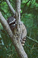 Raccoon (Procyon lotor).  Pacific Northwest.