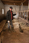 Farm worker in Yaroslavl Oblast, Russia region pauses from cleaning a stall with a broom made from birch branches.