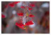 Bohemian waxwing balancing on berry branch