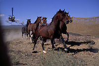 Airborne wranglers working with the BLM corral a thirsty herd of mustangs in Eureka, Nevada. The herd is chased into a trap by helicopters. <br /> <br /> Wild horses compete intensely with wildlife and livestock for water and forage.  An estimated 47,000 wild horses roam western lands, many are descendants of Spanish horses brought to the New World in the 1500's. In the 1800's the Spanish stock began to mix with European horses favored by the settlers, trappers and miners that had escaped or were turned out by their owners.  .People provide adoption programs and horse sanctuaries in an attempt to provide homes for them.