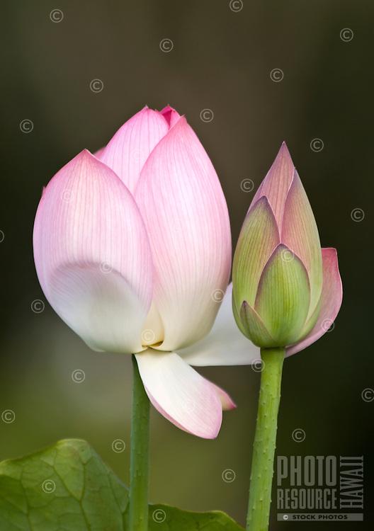 Two budding Pink lotus flowers