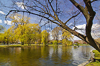Spring colored willows reflect in the lagoon along the shore at the Boston Public Gardens