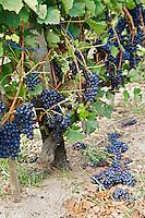 syrah green harvested vineyard domaine p gaillard rhone france