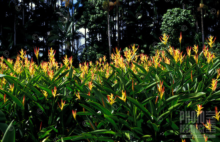 Field of Heliconia psittacorum cv. Rhizomatosa or Parakeet