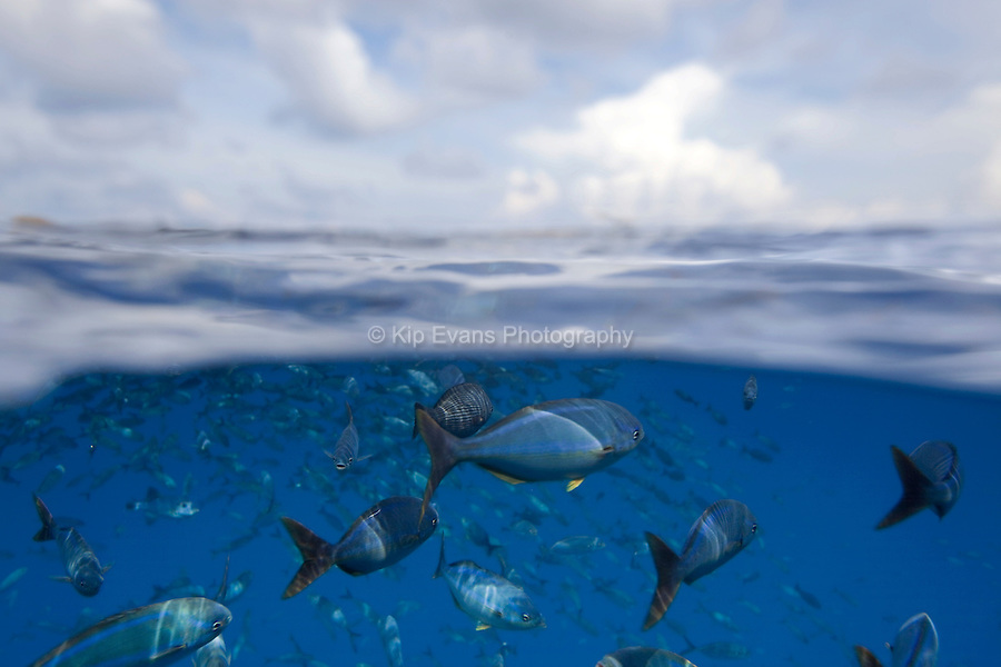 A split-water view of tropical fish off of Cocos Island off the coast of Costa Rica.