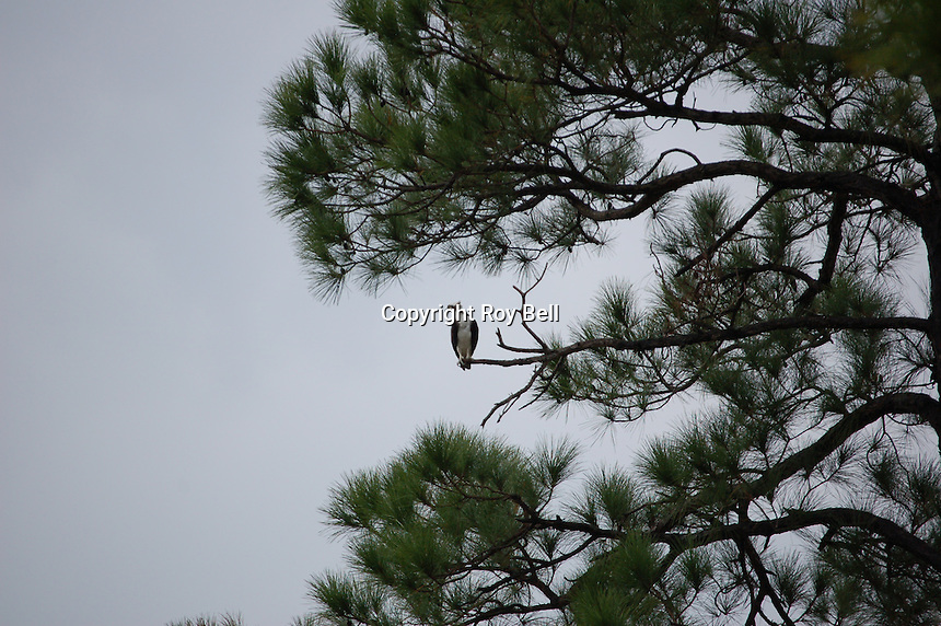 Vultures in flight and in trees on Miflin Creek Alabama near Foley Alabama. spring 2008