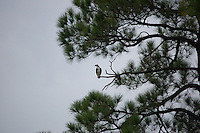 Vultures in flight and in trees on Miflin Creek Alabama near Foley Alabama. spring 2008