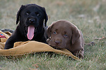 Black and chocolate labrador retriever puppies lying on a hunting coat