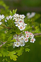 Zweigriffliger Weißdorn, Weissdorn, Crataegus laevigata, Crataegus oxyacantha, English Hawthorn, May