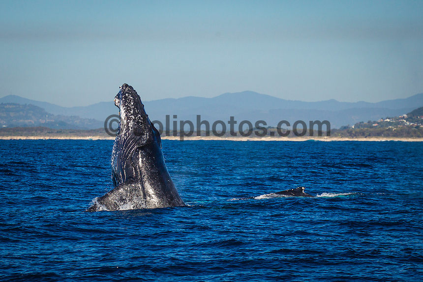 Coolangatta, Queensland, Australia. Wednesday 8 August 2012. Between June and October each year over 17,000 humpback whales pass Coolangatta on their annual migration from the Southern Tasman ocean to the warm waters of tropical Queensland. Photo: joliphotos.com