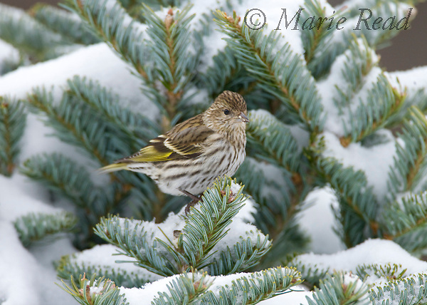 Pine Siskin (Carduelis pinus) perched in a snow-covered conifer, New York, USA