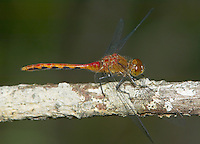 Cherry-faced/Jane's Meadowhawk (Sympetrum sp.) Dragonfly - Male, Cranberry Lake Preserve, Westchester County, New York