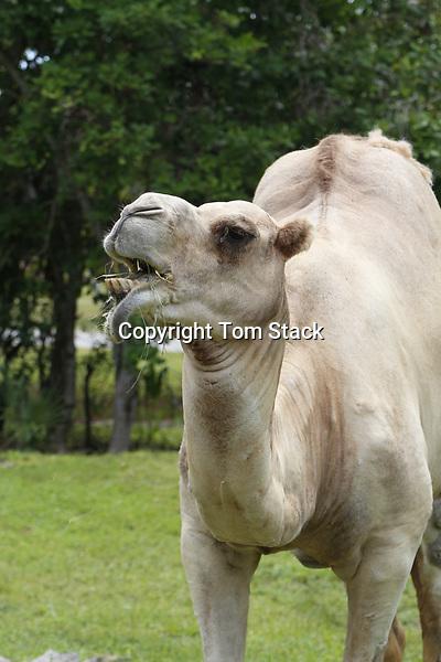 A Bactrian camel, Camelus bactrianus, feeding in a zoo.