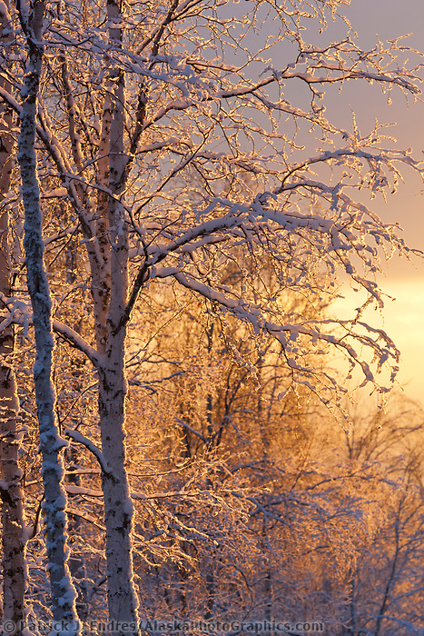 Golden morning sunshine lights the frosted branches of birch trees in the winter boreal forest in Fairbanks, Alaska.