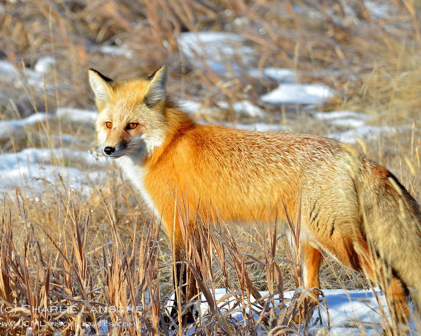 A red fox hunts for voles and mice near Oakley, Utah.  December 2011.