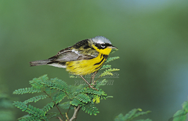 Magnolia Warbler, Dendroica magnolia,male, South Padre Island, Texas, USA