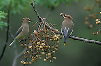 Cedar Waxwing, Bombycilla cedrorum, immatures eating berry from Chinaberry Tree (Melia azedarach), New Braunfels, Texas, USA